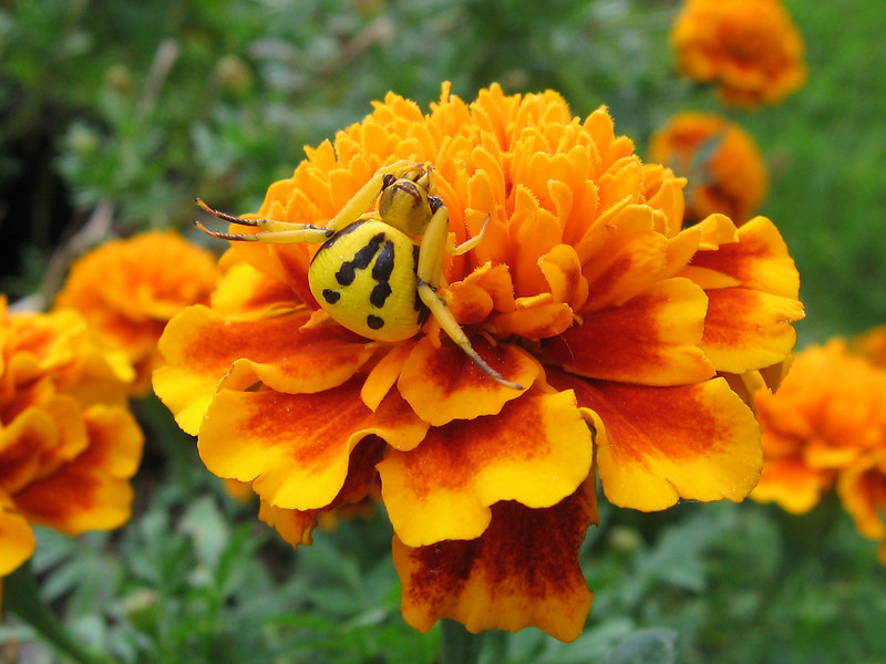 "I checked to see if this spider was still hanging around the marigolds and it was.<br /> I used the ""manual focus"" setting on the camera to get a better image."