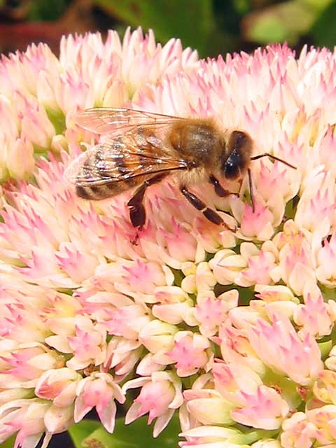 Another bee and sedum photo.