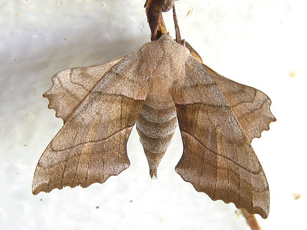 I need to look up the name of this moth. This was taken at home.