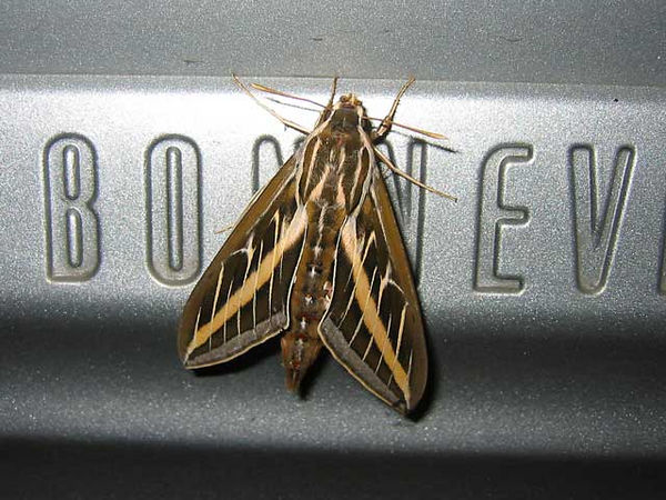 A large moth on Becky's car.<br /> We wonder if he was hitching a ride somewhere.<br /> I believe it is a Sphinx Moth (also called Hawk Moth or Hummingbird Moth).