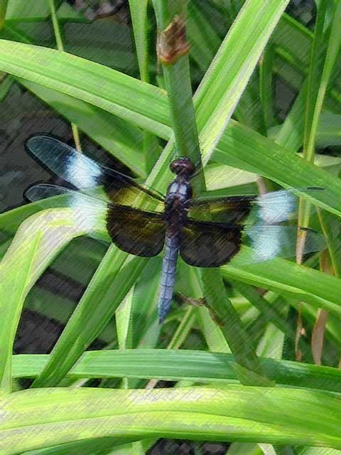 Widow Skimmer (Libellula luctuosa) -<br /> The contrast on this photo was so startling to me that it didn't look real...<br /> ...so I applied a photoshop filter to it.<br /> I know it still doesn't look real but I kind of like it anyway. <br /> Taken at Powell Gardens.