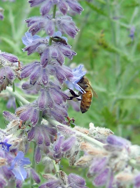 Russian sage seems to be one of the most liked flowering plants. <br /> All kinds of bees visit the large bushy plants all summer long. <br /> We usually have lots of bumble bees flying around the plants. <br /> This honeybee is a welcome sight because<br /> they seemed to be in decline for a few years around here--<br /> last summer we were glad to see more of them.
