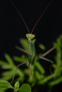© Joseph Dougherty. All rights reserved.   Stagmomantis californica  California Praying Mantis