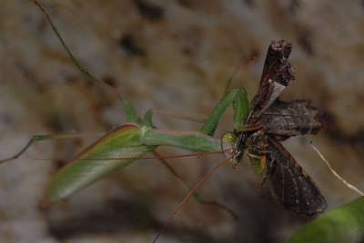 © Joseph Dougherty. All rights reserved.   Stagmomantis californica  California Praying Mantis  Eating a moth.