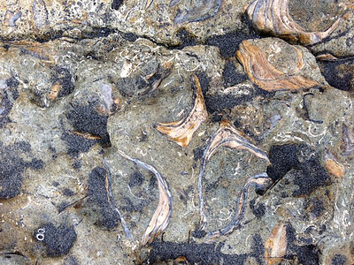 © Joseph Dougherty. All rights reserved.  Fossilized oyster shells stuck in rock.