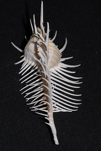 © Joseph Dougherty. All rights reserved.  Murex pecten   Lightfoot,1786 Venus Comb Murex   The shell has over one hundred spines, arranged in three main rows of long spines with shorter, obliquely oriented spines between the longer ones. These provide protection from predation, and prevent the snail from sinking in the soft mud of the deep ocean bottom where it is found. Like many other murex snails, it feeds primarily on other mollusks.