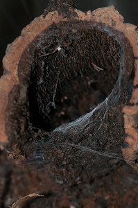 © Joseph Dougherty. All rights reserved.   Poecilothera regalis (Pocock, 1899) Indian Ornamental Tree Spider aka Indian Ornamental Tarantula  Funnel web in tree bark, created by Poecilotheria regalis.  The spider is resting in the bottom of the weblined lair.