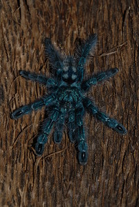 © Joseph Dougherty. All rights reserved.   Avicularia versicolor  (Walckenaer, 1837) Martinique Bird Spider aka Martinique Red Tree Spider, Martinique Pinktoe, Antilles Pinktoe Tarantula   Martinique Bird Spider, Avicularia versicolor spiderling, smaller than a US quarter with legs outstretched.    Native to the islands of Guadeloupe and Martinique.