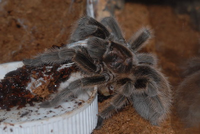 © Joseph Dougherty. All rights reserved.   Grammostola rosea (Walckenaer, 1837) Chilean Rosehair Tarantula aka Rose Hair Tarantula, Chilean Rose Tarantula, Chilean Flame Tarantula  Chilean rose tarantula guarding an egg sac. She is positioned beside her water dish inside her terrarium.