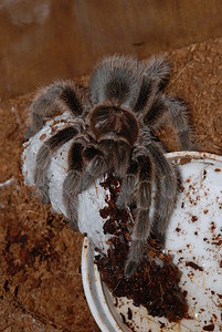 © Joseph Dougherty. All rights reserved.   Grammostola rosea (Walckenaer, 1837) Chilean Rosehair Tarantula aka Rose Hair Tarantula, Chilean Rose Tarantula, Chilean Flame Tarantula  Chilean rose tarantula guarding an egg sac.  Gramostola rosea are relatively docile, low maintenance, and inexpensive, so they are popular as pets. A terrarium should be at least triple the spiders' legspan in length, with a retreat for hiding. G. rosea can be kept in relatively low humidity; overflowing the water dish one or two times a week should provide ample humidity for this species. They are quite happy living at temperatures of around 25-30°C (77-86 fahrenheit), with a diet of four to six crickets every three weeks (or one locust per week). The G. rosea's feeding schedule is rather erratic, however; the spider can fast for weeks to months at a time. Fasting is sometimes an indication of an upcoming moult.  Grammostola rosea are usually skittish, running away from danger rather than acting defensively, but they may also raise their front legs and present their fangs in preparation to defend themselves. They can act especially defensive for days after moulting; this may be innate in the spiders behavior. As with the majority of tarantulas from the Americas (New World tarantulas), they have small spine-like urticating hairs on their abdomen that they kick off or release when threatened as a defense.  In February 2009 a British man was treated for tarantula hairs lodged in his cornea. The hairs were thrown from the man's pet G. rosea while the man was cleaning its tank. Medical authorities urge owners to wear protective eyewear when handling a G. rosea. Keeping in mind that urticating hairs can cause medical problems, handling the tarantula is not a concern if handlers wash themselves afterwards and remain cognizant of the hazards.