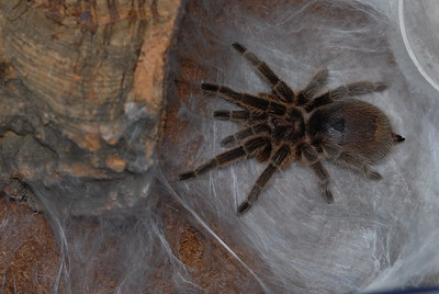 © Joseph Dougherty. All rights reserved.   Chilean rose tarantula Grammostola rosea creating a silk mat outside her burrow before laying an egg sac. Note the fullness of this female's abdomen.  The Grammostola rosea has been bred in captivity for years either for research purposes or for trade. Females profit from a 'cooling period' of a couple of months preceeding  introduction of a male for mating. Once a male has reached sexual maturity he will create a sperm web before he is introduced to the female's terrarium. He will eventually approach the female's burrow with caution, tapping and vibrating his legs to attract her out of her shelter. At the opportune moment the male will lunge himself forward and using his hooks he will hold the female's chelicerae, pushing his mate into a vertical position giving him access to the female's epigyne (external genitalia). The male will insert one (or even both left and right) pedipalp into the female's epigyne and inject the fertilizing fluid. In the weeks following fertilization, the female produces a large egg sac (usually containing around 500 spiderlings).
