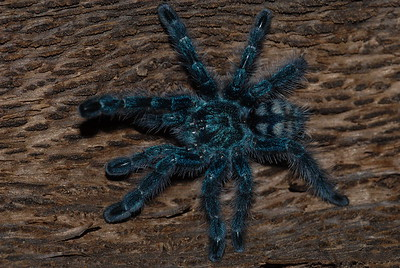 © Joseph Dougherty. All rights reserved.   Avicularia versicolor  (Walckenaer, 1837) Martinique Bird Spider aka Martinique Red Tree Spider, Martinique Pinktoe, Antilles Pinktoe Tarantula   Martinique Bird Spider, Avicularia versicolor spiderling, smaller than a US quarter with legs outstretched.  Spiderlings of A. versicolor are bright blue, with a black treetrunk pattern on the abdomen. As they grow, they gradually lose the blue coloration and their carapace turns green, their abdomen red, their legs green with purple hairs and pink tarsi. They are a more colorful version of their cousin, the Pinktoe tarantula. On average, males are slightly more brightly colored than females. Like most tarantulas, males stay much smaller than females- especially in the abdomen.