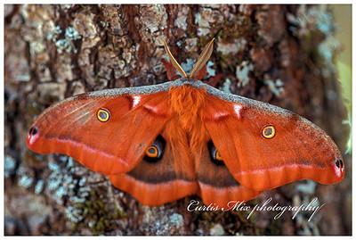 Moth on an oak tree.