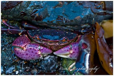 Rock crab.