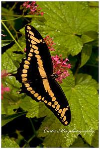 Giant swallowtail.