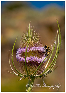 Bee on a Teasel.