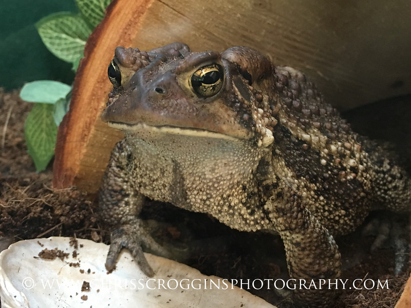 American Toad, Lake Roland Nature Center