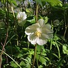 Mayapple Wildflowers