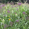 Vervain wildflowers and native grasses.