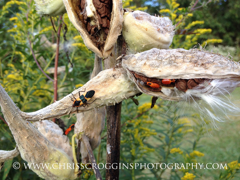 Adult Milkweed Bug and Nymphs