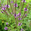 Vervain Wildflowers