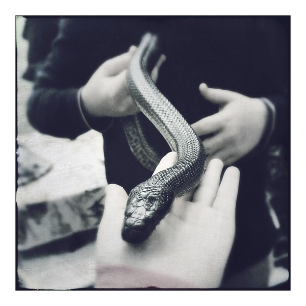 Coretta the Black Rat Snake