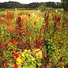 Celosia Garden
