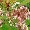 Eastern Long-horned Milkweed Beetles mating