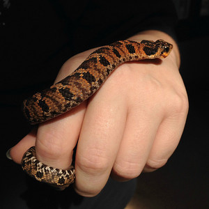 Baby Hog-nose Snake.