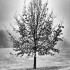 Suburban Tree