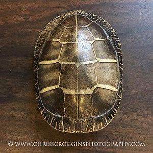 Vesica Pisces in a turtle shell