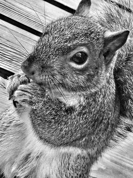 Eastern Gray Squirrel, Baltimore County, Maryland.