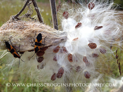 Large Milkweed Bugs on Milkweed