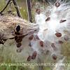 Large Milkweed Bugs on Milkweed