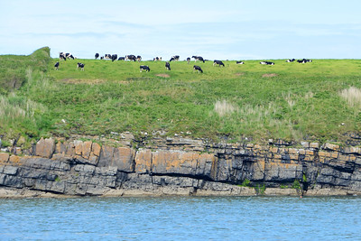 Cows, grass and turbidites