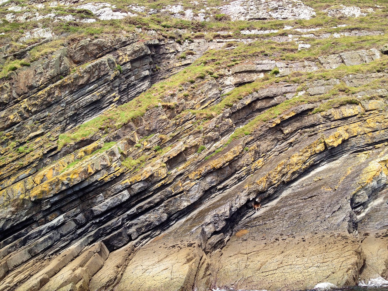 Folded turbidites and a goat