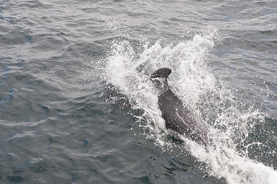 Bottlenose dolphin in front of the boat