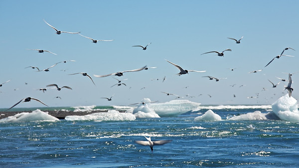 Küstenseeschwalben  (Sterna paradisaea) am Jökulsárlón Strand - Island  Arctic Terns at Jökulsárlón Beach - Iceland  - mehr dazu im Blog: Jökulsárlón