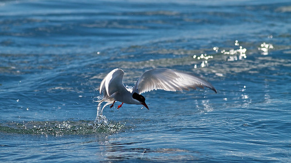 Küstenseeschwalben  (Sterna paradisaea) am Jökulsárlón - Island  Arctic Terns at Jökulsárlón - Iceland  - mehr dazu im Blog: Jökulsárlón