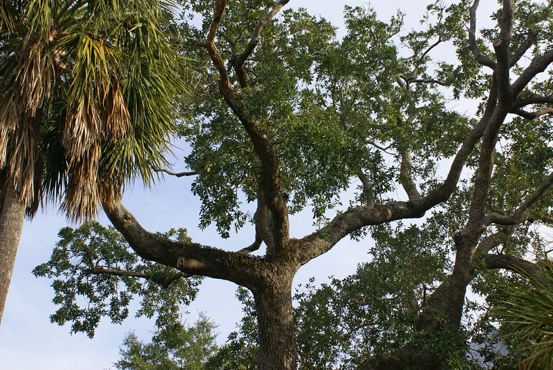 Live oak at Isle of Palms, South Carolina