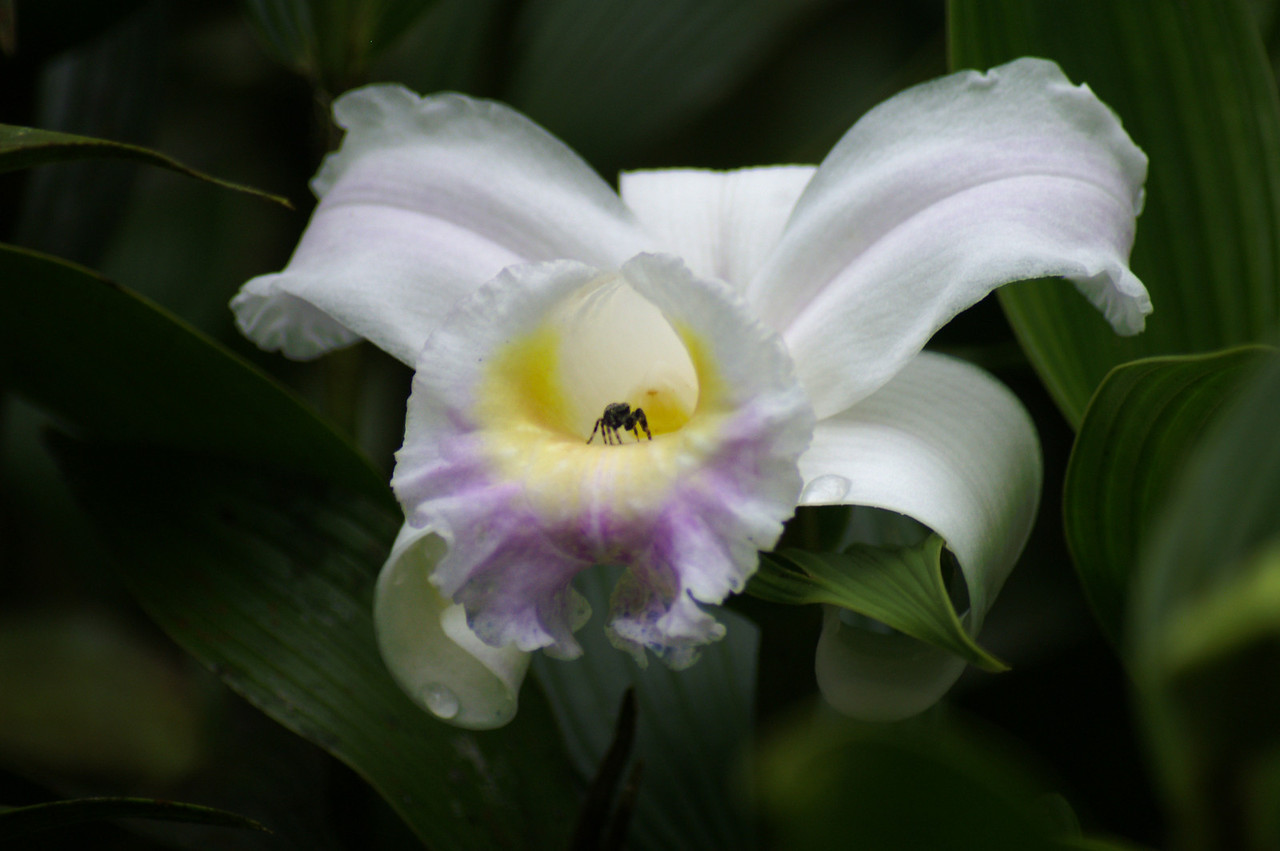 Orchid, Monteverde, Costa Rica