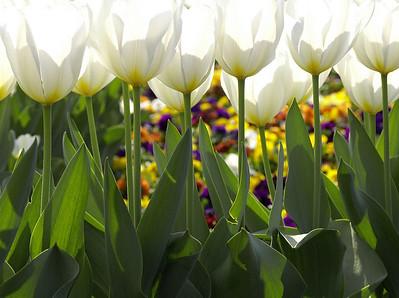 Tulip, Budapest, Hungary