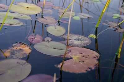 Lotus, Okavanga Delta, Botswana