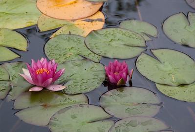 Lotus, Nelson, New Zealand