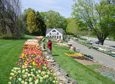 It's Tulip Time at White Flower Farm in Litchfield Co. on May 13, 2008