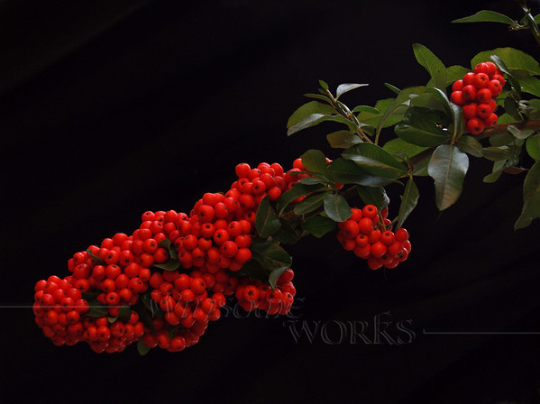 Firethorn (Pyracantha) Stem on Black