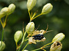 a type of Chinese ornamental lily... gone to seed in Sept