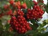 Firethorn or Pyracantha Bush - Quakertown, PA
