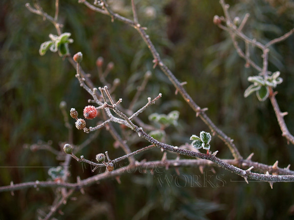 Frost-covered Hawthorn Berry Stem (Crataegus monogyna) in Autumn