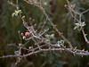 Frost-covered Hawthorn Berry Stem (Crataegus monogyna) in Autumn